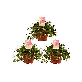 Plantas de interior de Botanicly – 3 × Pilea – altura: 15 cm – Pilea depressa são Paulo