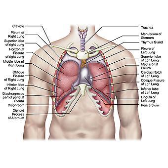 Anatomie des poumons humains en situ Poster Print