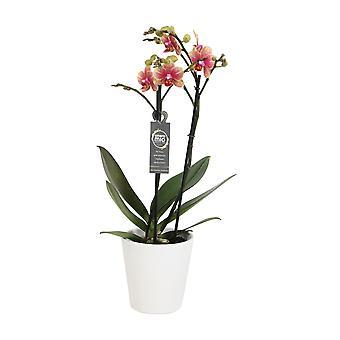 Wybór Green-Phalaenopsis Amore Mio Savion w białym garnku ceramicznym-Butterfly Orchid