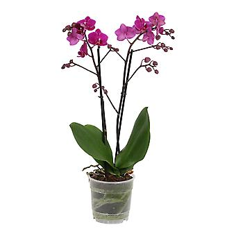 Orchidee – Schmetterlingsorchidee – Höhe: 45 cm, 2 Triebe, pinke Blüten