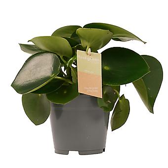 Zwergpfeffer ↕ 35 bis 35 cm verfügbar mit Übertopf | Peperomia obtusifolia Green Gold
