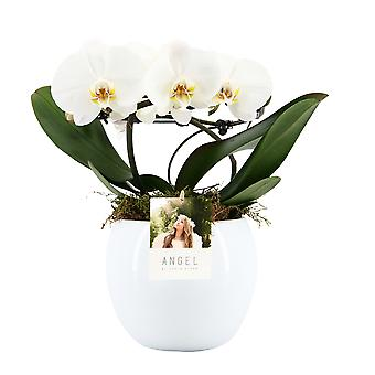 """Your Natural Orchid - Sustainable Phalaenopsis Orchid """"Angel white"""" in Lisa ceramic pot - height 25-35 cm"""
