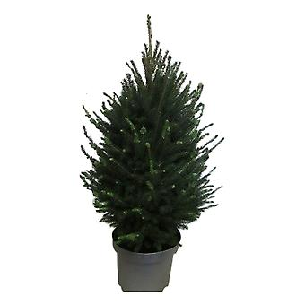 Puu kasvitieteellisesti – Picea glauca Super Green – Korkeus: 70 cm