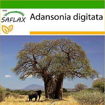 Saflax - 6 frön - Med jord - Afrikanska Monkey Bröd Tree - Baobab africain - Baobab africano - Árbol del pan del mono - Afrikanischer Affenbrotbaum