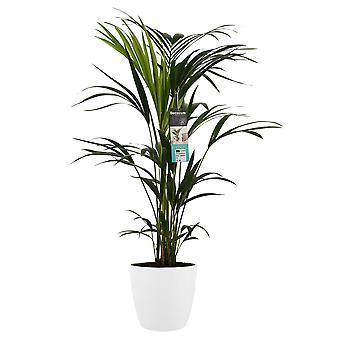Planta Interior – Palmeira Kentia em vaso de planta branca como conjunto – Altura: 100 cm