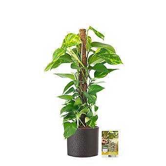 Pokon® Scindapsus Epipremnum incl.watermeter en voeding - in Mica Era Pot Donkergrijs - hoogte ↕80 cm