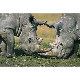 White Rhinoceros close-up of two fighting Kenya Poster Print by Martin Withers