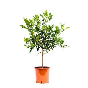 Hedelmäkasvi alkaen Botanicly – Kaffir lime – Korkeus: 85 cm – Citrus Hystrix