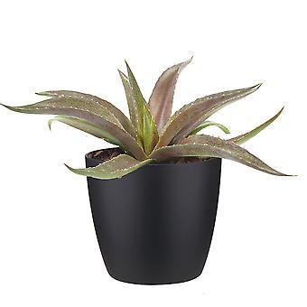 Cactus e pianta grassa – Mangave Rosso in vaso nero come set – Altezza: 15 cm