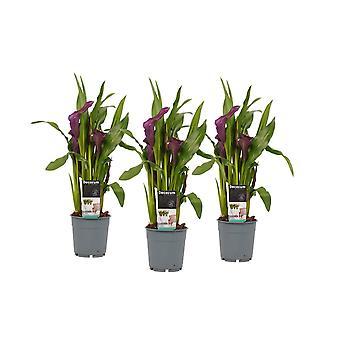 Flores de Botânica – 3 × Calla – Altura: 40 cm – Zantedeschia aethiopica