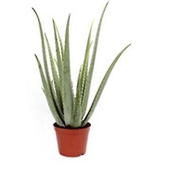 Aloe Vera ↕ 24 till 65 cm finns med planter | Aloe Vera