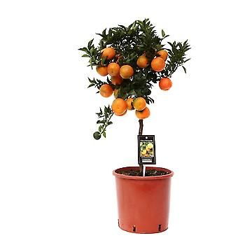 Fruit Plant from Botanicly – Citrus Mandarin – Height: 85 cm