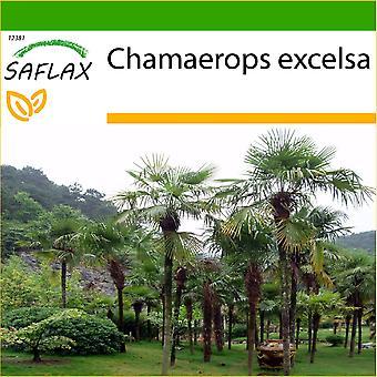 Saflax - 10 Samen - mit Boden - chinesische Windmühle Palme - Palmier À Chanvre - Palma di Trachycarpus - Palma Enana - Hanfpalme