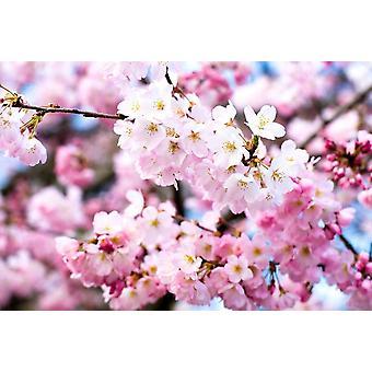 Wallpaper Mural Cherry Blossoms II