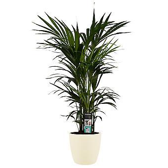 Pianta d'appartamento – Kentia in vaso crema come set – Altezza: 110 cm
