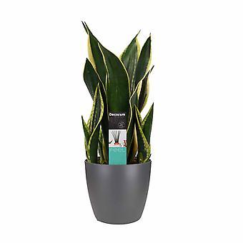 Plante d'intérieur de Botanicly – Langue de belle-mère – Hauteur: 55 cm – Sansevieria Fire