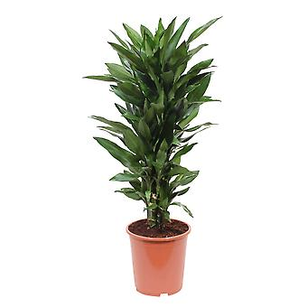 Choice of Green - Dragon Tree   pot - ↑ 100-110 CM - Pot Ø 27 CM - Dracaena Janet Lind