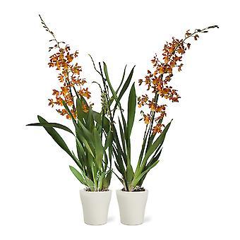 Orquídeas – 2 × Laranja orquídea em vaso de planta branca como conjunto – Altura: 60 cm, 2 hastes, flores de laranja