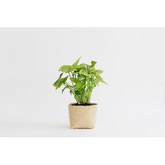 4'' Arrowhead Plant +  Penan Basket4 Arrowhead Plant +  Penan Basket. Have You Noticed How Much One Plant Can Do?xa0 You Walk in the Room and There It Is