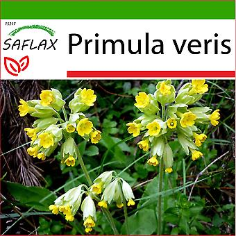 Saflax - 100 frø - med jord - Primrose - Primevère officinale - Primula odorosa - Primavera - Schlüsselblume