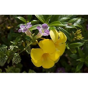 Доминиканская Республика Пунта Кана Allamanda цветок - желтый плакат печати Лиза S Энгельбрехт