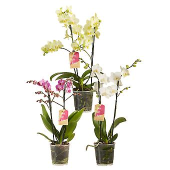 Choix de vert - Phalaenopsis multiflora - Mixed Colours set of 3 - Butterfly Orchid