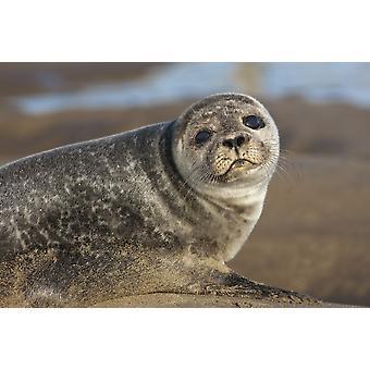 Sea Lion (Otariidae) heliga ön Northumberland England PosterPrint