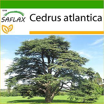 Saflax - 20 frø - med jord - nordafrikanske Atlas Cedar - Cèdre de l'Atlas - Cedro dell'Atlante - Cedro azul del Atlas - Nordafrikanische Atlas Zeder