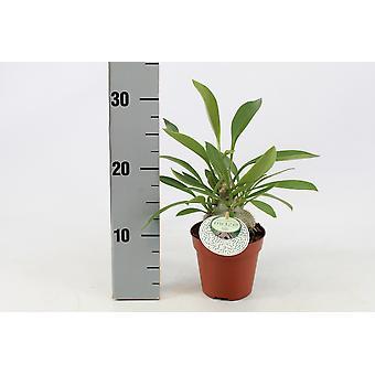 Zimmerpflanze von Botanicly – Myrmecodia Beccarii – Höhe: 30 cm