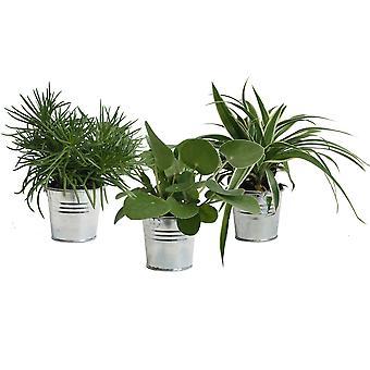 Kamerplanten van Botanicly – 3 × Amazone Mix in zilver metaal pot als set – Hoogte: 15 cm