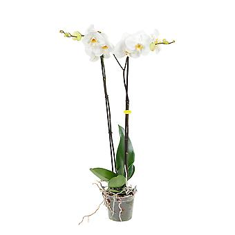 BOTANICLY Phalaenopsis Grandiflora - Butterfly orchid white