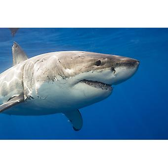 Great white shark (Carcharodon carcharias) Guadalupe Island Mexico PosterPrint