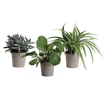 Kamerplanten van Botanicly – 3 × Amazone Mix incl. taupe sierpot als set – Hoogte: 15 cm