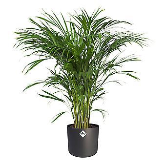 Dypsis Areca Golden Palm in ELHO® B.FOR SOFT sierpot anthracit - Hoogte 100 cm - Diameter pot 21 cm