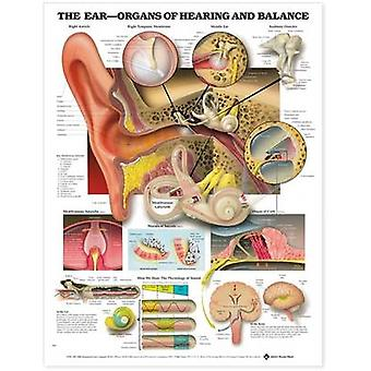The Ear Organs of Hearing and Balance Anatomical Chart by Prepared for publication by Anatomical Chart Company