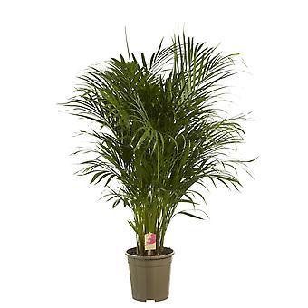 Goudpalm ↕ 45 tot 130 cm | Areca dypsis lutescens