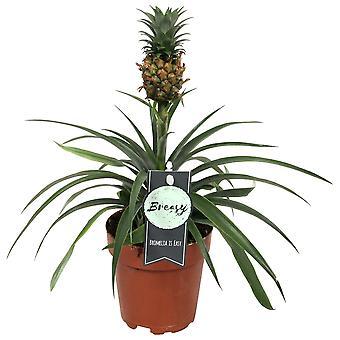 Bromeliad Pineapple plant - Height 40 cm - Diameter pot 12 cm
