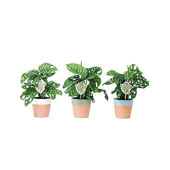 Sisäkasvit kasvitieteellisesti – 3 × Monstera-apinanaamio – Korkeus: 25 cm – Monstera Obliqua Monkey