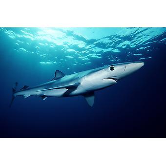 Синяя акула плавает вблизи поверхности Калифорнии Тихого океана Плакат Печать изображений VWPicsStocktrek