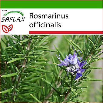 Saflax - 100 graines - sol - romarin - Romarin - Rosmarino - Romero - Echter Rosmarin