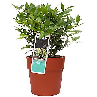 Inomhusväxt från Botanicly – Bay leaf – Höjd: 35 cm – Laurus Nobilis
