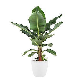 Bananplante ↕ 65 cm tilgængelig med plantageejer | Musa
