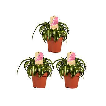 Plantes d'intérieur – 3 × plante araignée – Hauteur: 20 cm