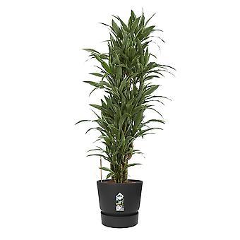 Planta Interior – Árvore dragão em pote de plástico ELHO preto como conjunto – Altura: 120 cm