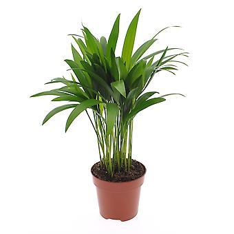 Pianta d'appartamento da Botanicly – Palma Areca – Altezza: 45 cm – Areca dypsis lutescens