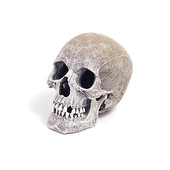 Palo de rosa cinta azul ornamento del cráneo humano