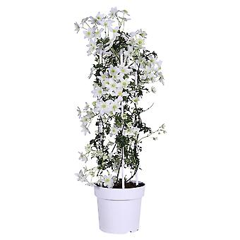 Up! Climbers - Clematis 'Avalanche' - outdoor plant in grower pot ø 23 cm - height 80-90 cm
