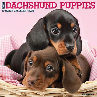 Just Dachshund Puppies 2022 Wall Calendar Dog Breed by Willow Creek Press