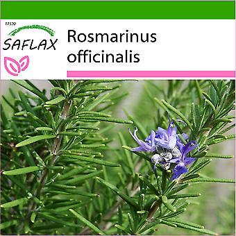 Saflax - 100 zaden - met bodem - rozemarijn - Romarin - Rosmarino - Romero blanco - Echter Rosmarin