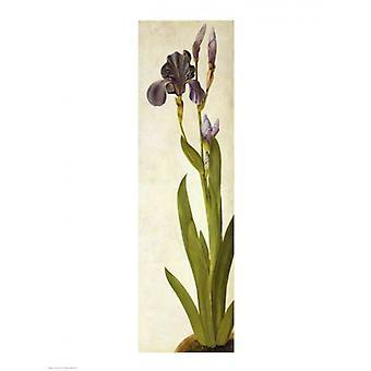 Eine Iris Poster Print von Albrecht Dürer